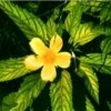 Damiana: planta afrodisíaca