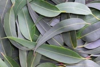 Hojas de las que se extrae el aceite de eucalipto