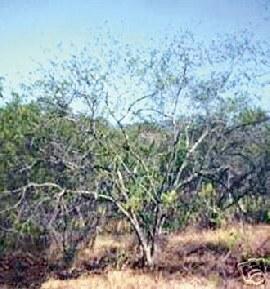 Tepezcohuite