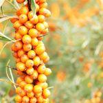 El Espino Amarillo como Planta Medicinal