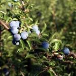 Belladona: sus propiedades y aplicaciones en la salud