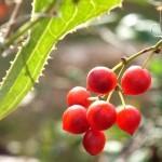 Zarzaparrilla y sus Beneficios para la Salud como planta medicinal