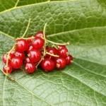 Grosella: Propiedades y Usos como planta medicinal