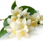 Jazmín: una aromática con Beneficios para la Salud. Remedios naturales