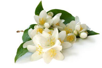 El jazmín, Aromática planta con Beneficios para la Salud