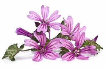Malva: cura bronquitis, tos, piel, hemorroides