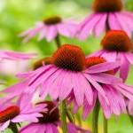 Equinácea o Echinacea para combatir Infecciones, Cicatrizar heridas, fortalecer Sistema Inmune, etc.