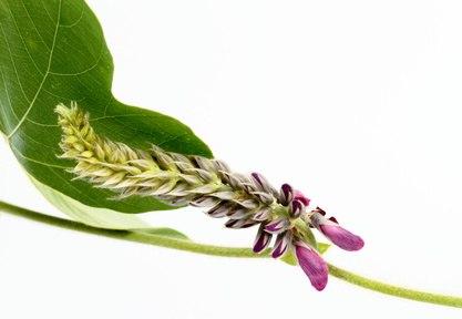 Propiedades de Pueraria lobata (Willd.) Ohwi. En la MTCH