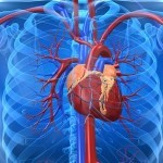 Efectos farmacológicos de Radix Aconiti Praeparata – Fuzi sobre el sistema cardiovascular
