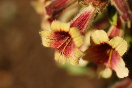 Propiedades de la Rehmannia glutinosa Libosch, en MTC