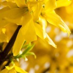 "Propiedades en Fitoterapia de la ""Campanita China"" Forsythia suspensa (Thunb.) Vahl."