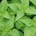 Remedios con Ortiga, una hierba mala ¡muy buena!