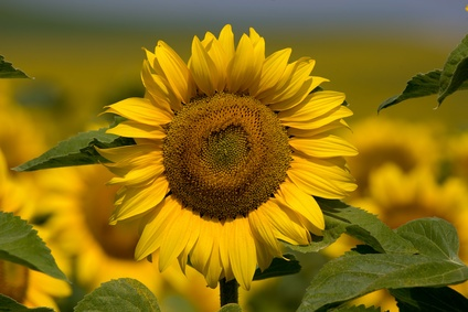 Flores beneficiosas para la salud