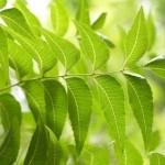 Árbol de Neem, para la Acidez, Diabetes, Artritis, la Piel y Más