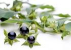 Plantas Tóxicas: Riesgos de algunas Plantas Medicinales
