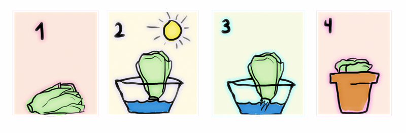 Como plantar Lechugas