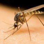 Virus del Zika. Plantas Útiles para paliar dolores y otros síntomas de la enfermedad