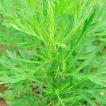 Propiedades medicinales de la Artemisia argyi Levl. & Vant