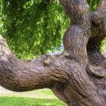 Sophora japónica L. o Árbol de las Pagodas: propiedades, beneficios y contraindicaciones